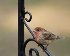 Free Purple Finch On Iron Pole Royalty Free Stock Photo - 18214425