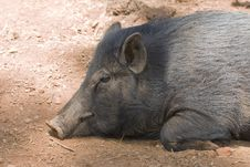 Free Sleeping Pig Stock Photography - 18214572