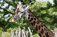 Free Giraffe Royalty Free Stock Images - 18215029