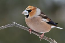 Free Hawfinch (Coccothraustes Coccothraustes) Royalty Free Stock Photos - 18215478