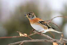 Free Chaffinch J�kavec Stock Images - 18215674
