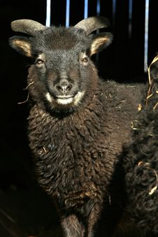 Free Black Lamb Standing In The Doorway Of The Barn Stock Images - 18215934