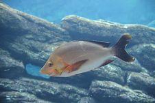 Free Slinger Fish (Chrysoblephus Puniceus) Stock Photo - 18218270