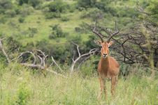 Free Male Impala Posing For The Camera Stock Images - 18218334