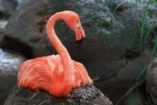 Free Pink Flamingo (Phoenicopterus Roseus) Royalty Free Stock Photography - 18218537