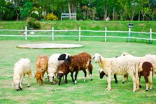 Free The Group Sheep Royalty Free Stock Photo - 18218815