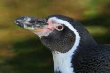 Free Humboldt Penguin (Spheniscus Humboldti) Stock Images - 18218834