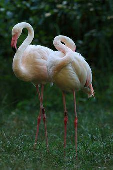 Free Pink Flamingo (Phoenicopterus Roseus) Royalty Free Stock Images - 18219469