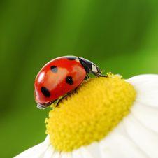 Free Ladybug On Camomile Stock Photo - 18219920