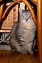 Free Crey Tabby Cat Stock Image - 18221831
