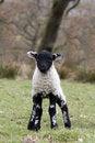 Free Spring Lamb Stock Images - 18227674