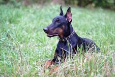 Free Lying Doberman Stock Photo - 18220800
