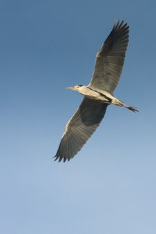 Free Great Grey Heron In Flight Against The Blue Sky / Royalty Free Stock Photo - 18220855