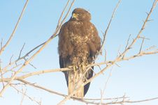 Free Common Buzzard (Buteo Buteo) Royalty Free Stock Images - 18220939