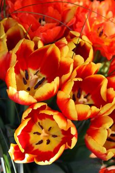 Free Tulips Royalty Free Stock Images - 18222249