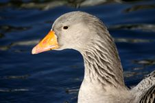 Free Goose In Winter Royalty Free Stock Photo - 18222335