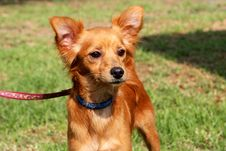 Free Foxy Dog Stock Photos - 18222423