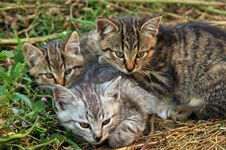 Free Three Kittens Stock Image - 18225391