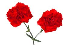 Two Red Carnations Royalty Free Stock Photos