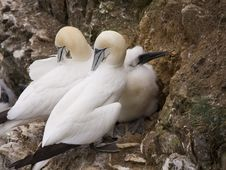 Gannet At Troup Head Royalty Free Stock Image