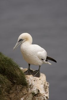 Gannet At Troup Head Royalty Free Stock Photos