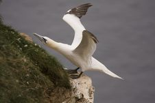 Free Gannet At Troup Head Stock Image - 18227591