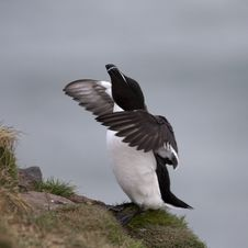 Razorbill At Fowlsheugh Royalty Free Stock Photography