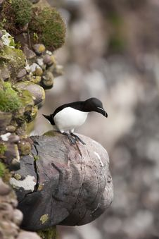 Free Razorbill At Fowlsheugh Stock Images - 18227614