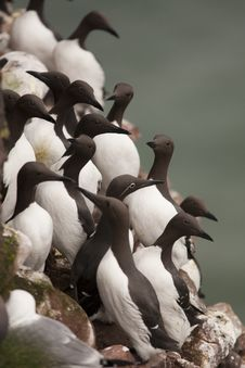 Free Guillemot At Fowlsheugh Royalty Free Stock Photography - 18227617