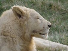 White Lioness Stock Photos