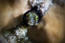 Free Blenny Royalty Free Stock Photography - 18228217