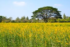 Free Big Tree In The Yellow Flower Farm Royalty Free Stock Images - 18228379