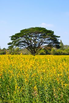 Free Big Tree In The Yellow Flower Farm Stock Photography - 18228412