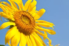 Free Sunflower Close Up And The Blue Sky Royalty Free Stock Photography - 18228637