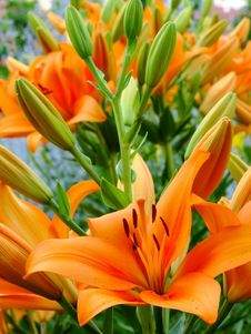 Free Lilium Bulbiferum Stock Photo - 18229190