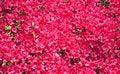 Free Background Of Red Azalea Flowers Stock Images - 18233954