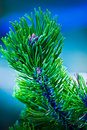 Free Leaf Pine Royalty Free Stock Image - 18238676