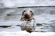 Sea-dog Stock Photo