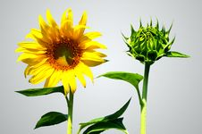 Sunflower And Bud Sun Flower Royalty Free Stock Photo