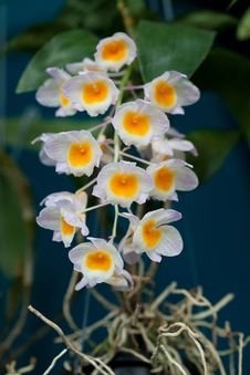 Free White Orchid Royalty Free Stock Image - 18231906