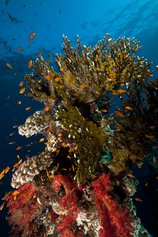 Free Net Fire Coral And Fish In The Red Sea. Stock Image - 18231941