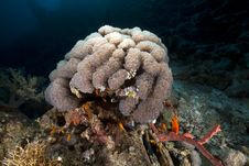 Free Bubble Coral In The Red Sea. Stock Image - 18232071
