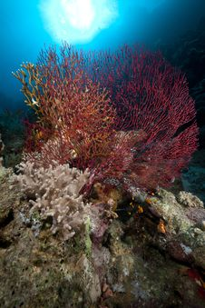 Free Sea Fan, Coral And Fish In The Red Sea. Stock Image - 18232091