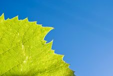 Part Of Grape Leaf Stock Photo