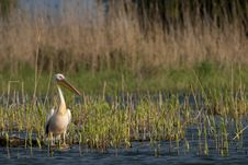 Free White Pelican Resting Royalty Free Stock Images - 18233129