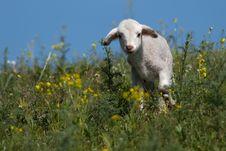 Free Cute Lamb On Filed Stock Photo - 18233150