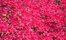 Free Background Of Red Azalea Flowers Stock Images - 18233954