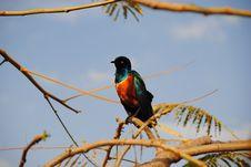 Free Superb Starling Bird Stock Image - 18234961