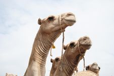 Free Camels Stock Photography - 18235232