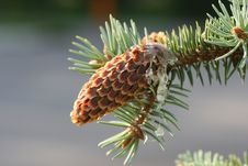 Free Fir Cone Royalty Free Stock Photo - 18235355